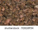 Thousands Of Male Walruses ...