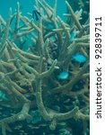 Small photo of Staghorn coral- Acropora cervicornis with fishes swimming around