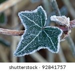 Frost Edging Ivy Leaf  Looking...