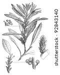 southern wax myrtle  myrica... | Shutterstock .eps vector #92843140