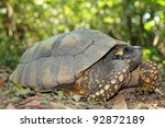 Yellow Footed Amazon Tortoise ...
