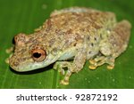 a cute amazon snouted frog ... | Shutterstock . vector #92872192