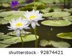 Two Lotus  Two Purple Lotus In...