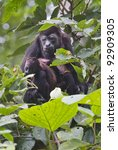 Small photo of Female howler monkey (Alouatta paliatta) with a baby (Cahuita National Refuge, Lemon, Costa Rica).