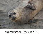 Harbor Seal  Phoca Vitulina...