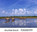 Small photo of Henson horses in the marshes in bays of somme in france