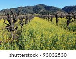 Beautiful ancient vines surrounded with yellow mustard in bloom in Napa Valley, California - stock photo