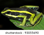 Small photo of Three-striped Poison Dart Frog (Ameerega trivittata) in the Peruvian Amazon Isolated on black with space for text