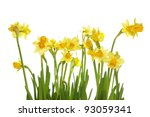 yellow daffodils isolated on... | Shutterstock . vector #93059341