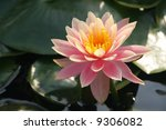 Pink water lily in a sunny afternoon - stock photo