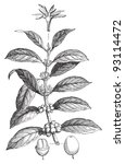 coffea arabica   vintage...   Shutterstock .eps vector #93114472