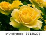 Beautiful yellow rose in a garden. Shallow DOF - stock photo
