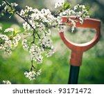 Springtime. Blooming Cherry...