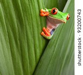 curious red eyed tree frog... | Shutterstock . vector #93200743