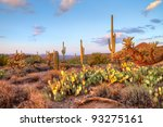 Late Light Illuminates Saguaro...