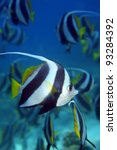 Longfin bannerfish in the tropical waters of the indian ocean - stock photo