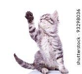 Cute Silver Tabby Cat Reaching...