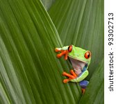 Red Eyed Tree Frog Hiding In...