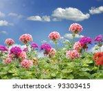 Geranium Flowers Against A Blue Sky - stock photo