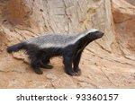 a honey badger  mellivora... | Shutterstock . vector #93360157