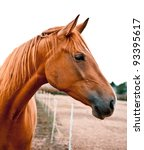 Stock photo side shot of a beautiful young warm blood horse he is listening with his ears perked up beautiful 93395617
