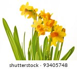 Tender yellow narcissuses on a white background are isolated. - stock photo