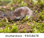 Pygmy shrew is hiding in moss - stock photo
