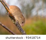 Harvest mouse is running along a branch - stock photo