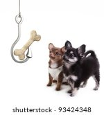 Two Chihuahua Look at bone on a hook isolated on white background - stock photo