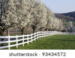 Row Of Dogwood Trees Blossomin...