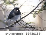 Dark Eyed Junco Perched In Snow
