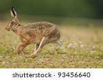 Stock photo european brown hare lepus europaeus running 93456640