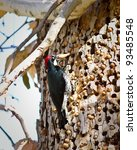 Acorn Woodpecker On A Tree In...