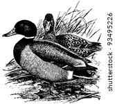 Bird Mallard
