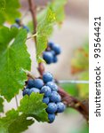 Cluster Of Zinfandel Grapes...