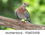 A Laughing Dove Photographed I...