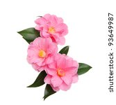 Stock photo three williamsii donation camellia flowers isolated against white 93649987