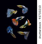 Fish Guppy Pet Isolated On...
