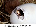 Duckling just after it started pipping the first hole in his egg - stock photo