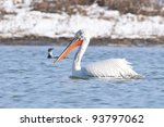 dalmatian pelican in winter ... | Shutterstock . vector #93797062