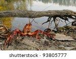 red swamp crawfish  procambarus ...   Shutterstock . vector #93805777