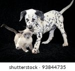 Stock photo funny puppy and kitten photo with a not so happy kitten playing with a dalmatia puppy that just 93844735