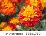 Close Up Yellow Marigold In...