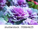 Purple Vegetable Cabbage
