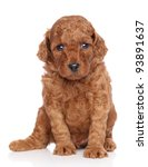 Miniature Poodle Puppy Portrai...