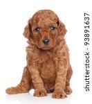 Miniature Poodle Puppy Portrai...