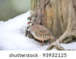 Beautiful partridge in the forest in winter - stock photo