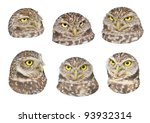 Small photo of Burrowing Owl heads for your design. Latin name - Athene cunicularia.
