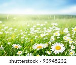 Stock photo field of daisy flowers 93945232