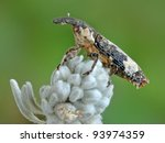 Small photo of Snout beetle Lixus cylindrus on a plant